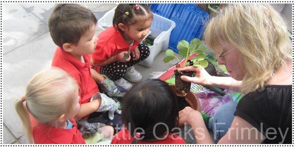 planting-strawberries-2